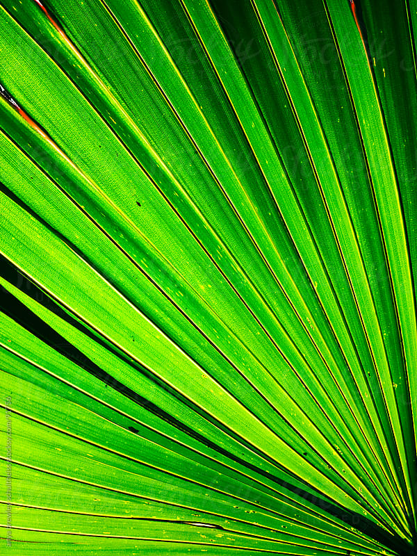 Close up image of palm leaf by anya brewley schultheiss for Stocksy United