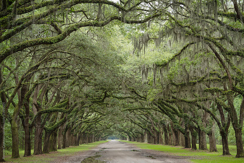 Road Between Large Old Oak Trees by Ronnie Comeau for Stocksy United