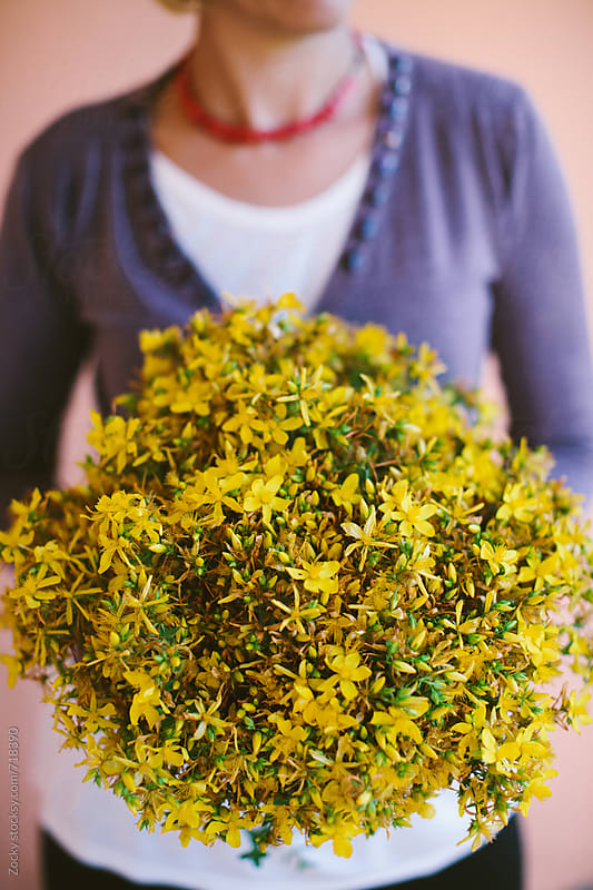 Female hands holding bouquet of the St. John's wort by Zocky for Stocksy United