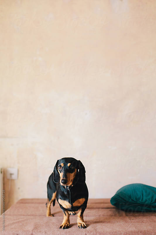 Small black dog indoor by Marija Mandic for Stocksy United