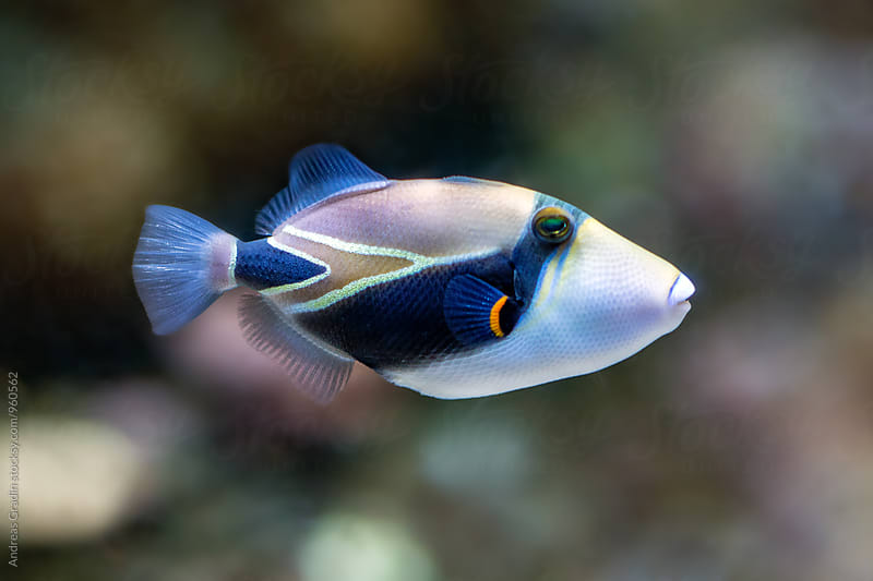 triggerfish by Andreas Gradin for Stocksy United