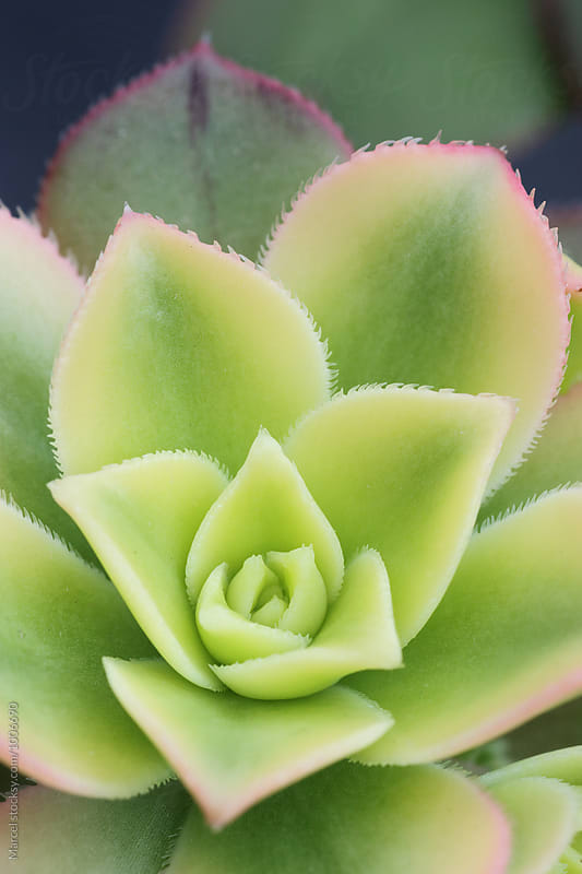 Aeonium succulent by Marcel for Stocksy United
