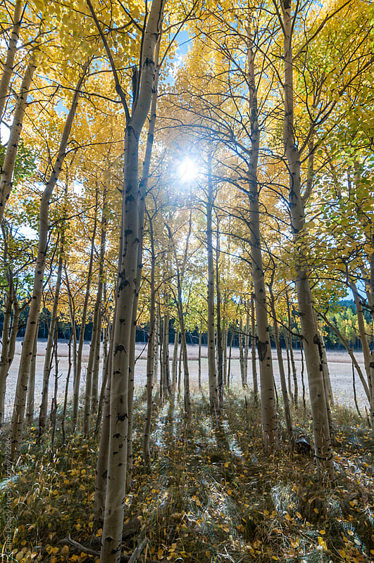 From the inside of an Aspen grove with sun light shinning through by Caine Delacy for Stocksy United