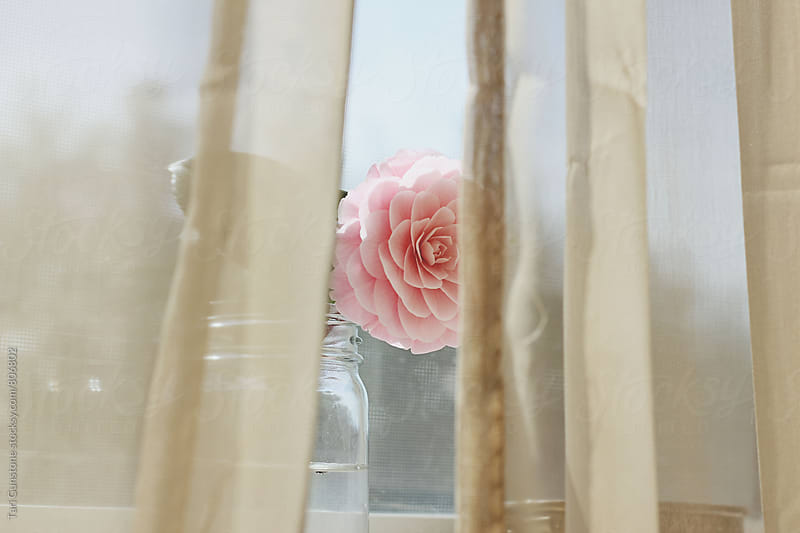 Camelia flower behind curtains by Tari Gunstone for Stocksy United