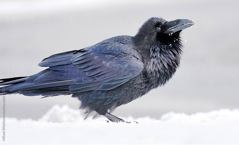 Wild adult raven playing with snow flakes by Mihael Blikshteyn for Stocksy United