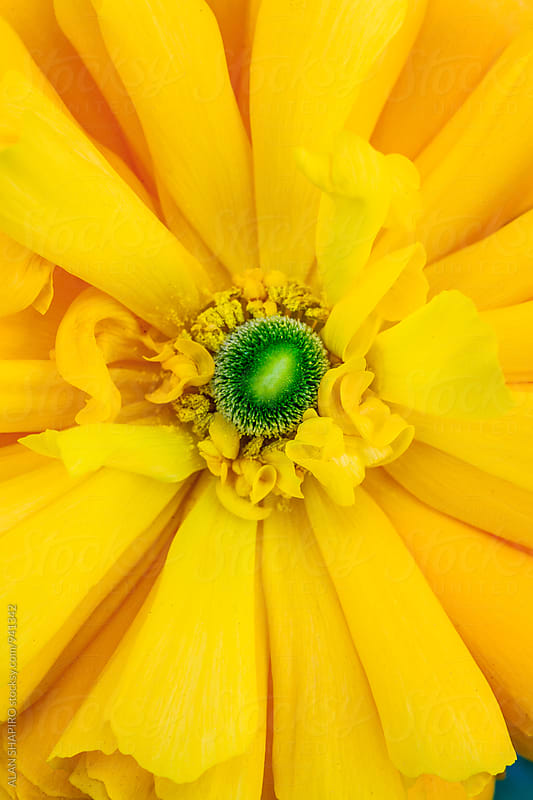Yellow ranunculus by alan shapiro for Stocksy United