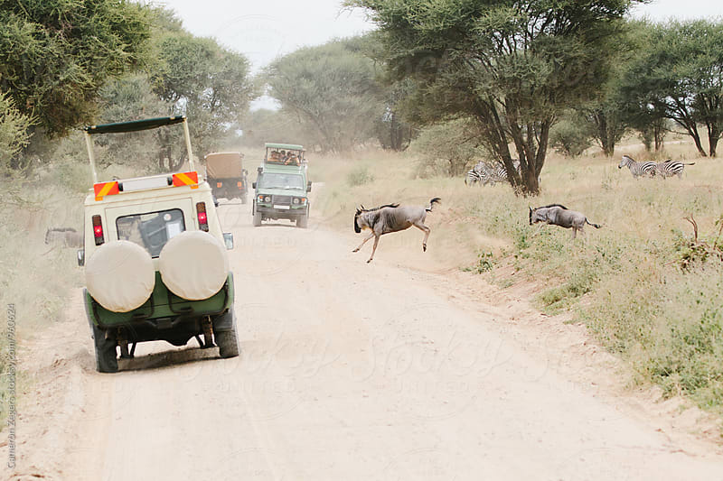 safari vehicles stopped at wildebeest crossing by Cameron Zegers for Stocksy United