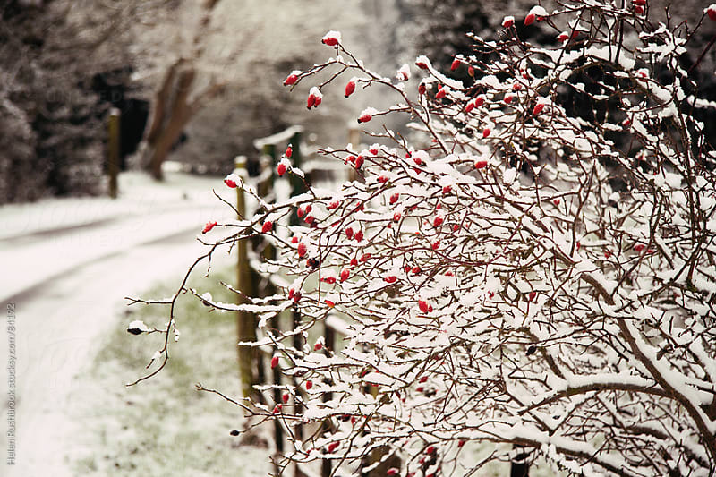 Snow-covered berries by Helen Rushbrook for Stocksy United