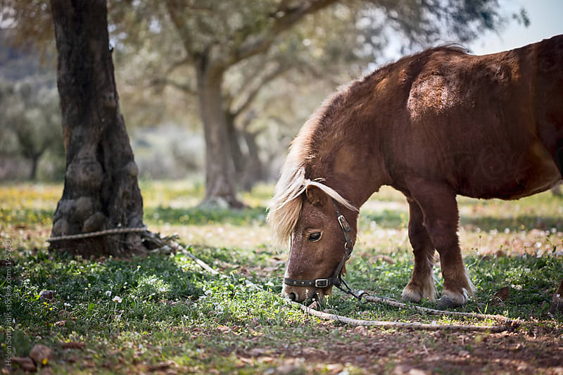 A Pony Grazing in the Shade of an Olive Tree by Helen Sotiriadis for Stocksy United