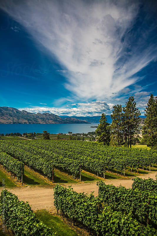 Vineyard by ALAN SHAPIRO for Stocksy United