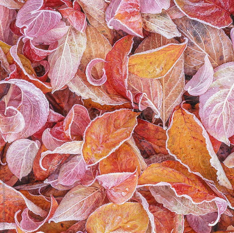 Frost on colorful dogwood leaves, closeup by Mark Windom for Stocksy United