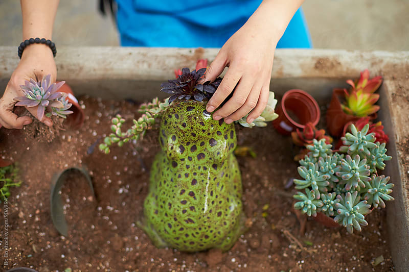 planting Succulents in the pot by cuiyan Liu for Stocksy United