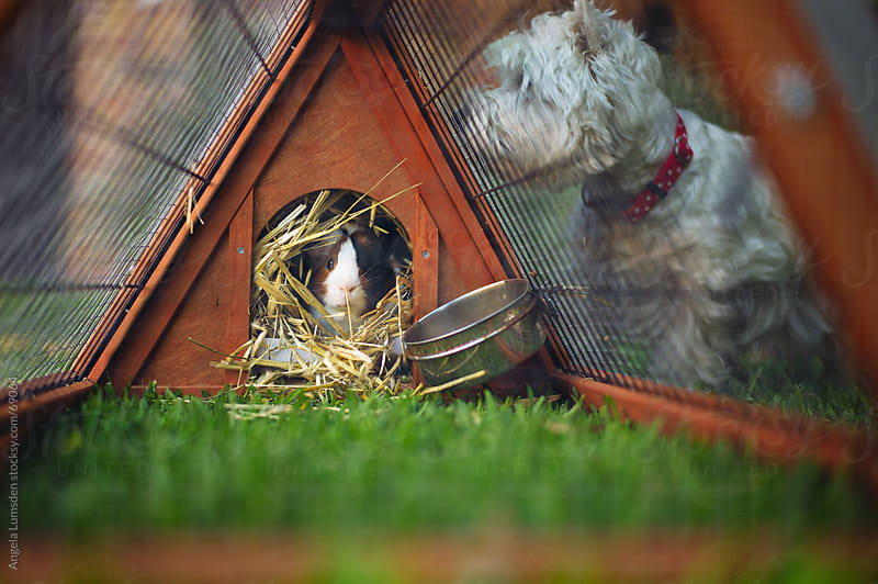Guinea pig sitting in a hutch while a dog looks in by Angela Lumsden for Stocksy United