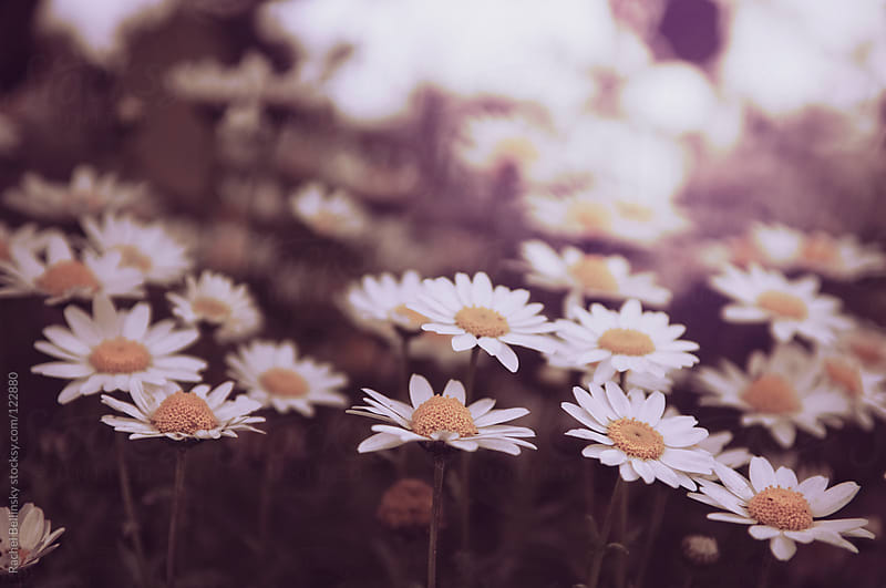 White daisies on a pale background in vintage tones by Rachel Bellinsky for Stocksy United