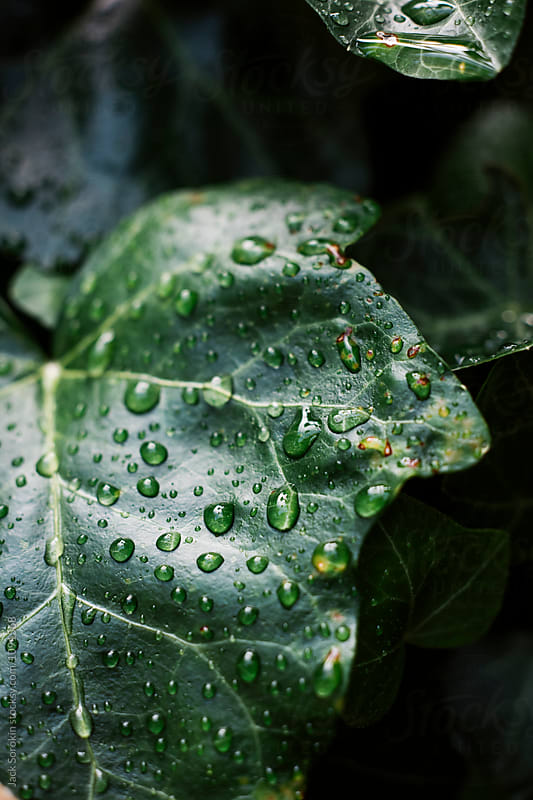 Raindrops on Ivy Leaf by Jack Sorokin for Stocksy United