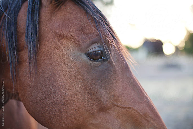 close up of beautiful chestnut horse's eye in the afternoon light by Natalie JEFFCOTT for Stocksy United