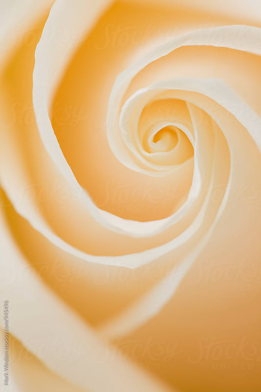 Rose Petal Spiral by Mark Windom for Stocksy United