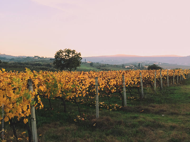 Vineyards in autumn by Juri Pozzi for Stocksy United
