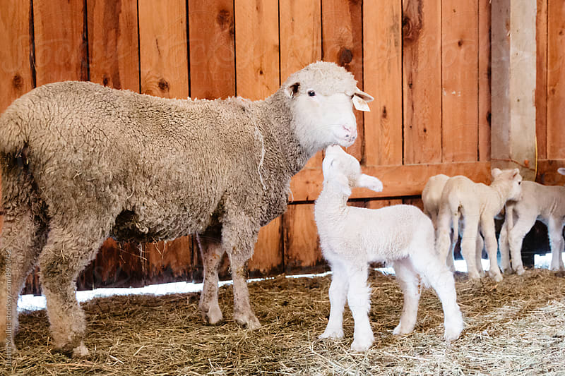 Newborn lamb giving her mother affection.  by Justin Mullet for Stocksy United