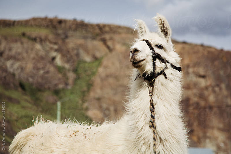 White guanaco in Argentina village. by Chris Werner for Stocksy United