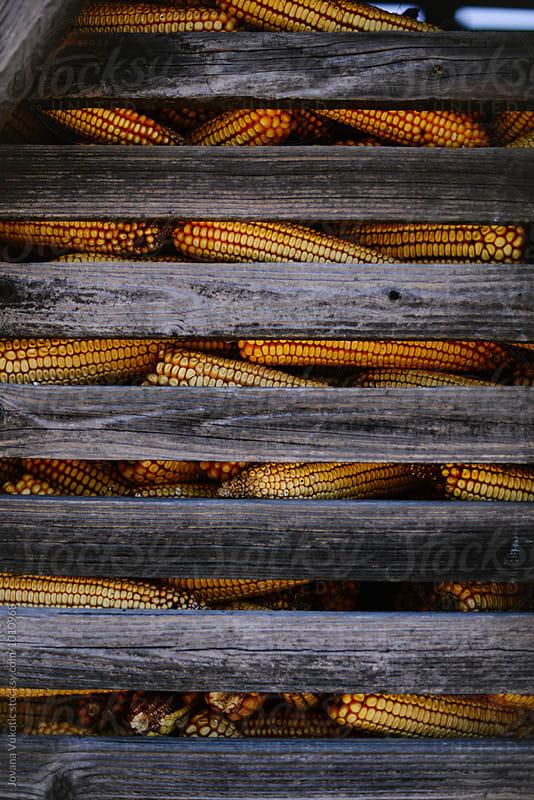 Corn by Jovana Vukotic for Stocksy United