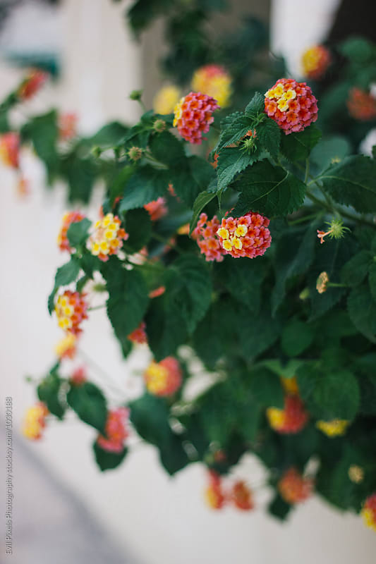 Detail of tiny red and yellow flowers growing in greece garden by Branislava Živić for Stocksy United