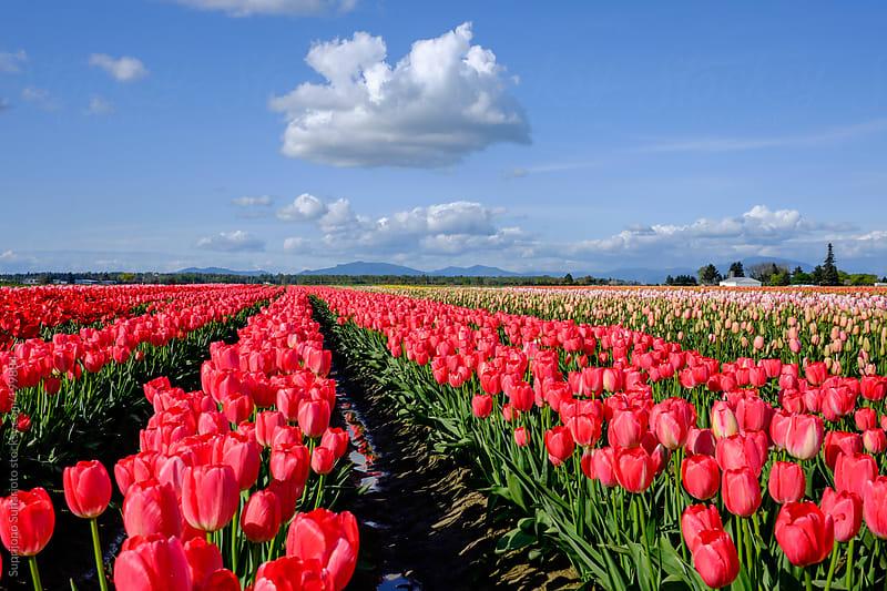 Red tulips field by Suprijono Suharjoto for Stocksy United