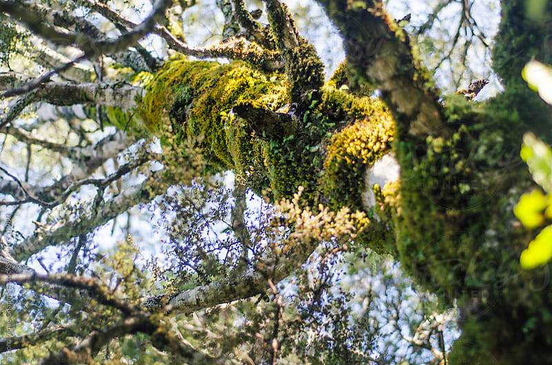 Looking up  at moss covered tree by Dominique Chapman for Stocksy United