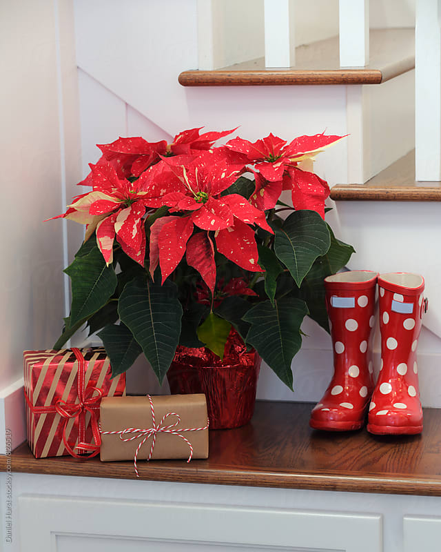 Poinsettia, gifts and boots by Daniel Hurst for Stocksy United