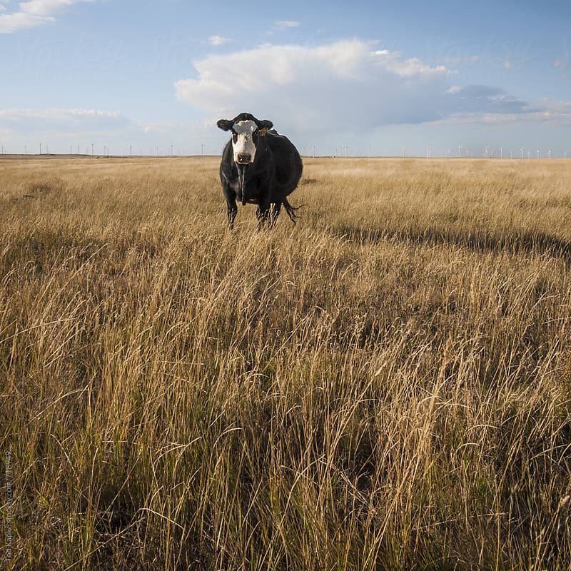 lone cow in field by Tod Kapke for Stocksy United