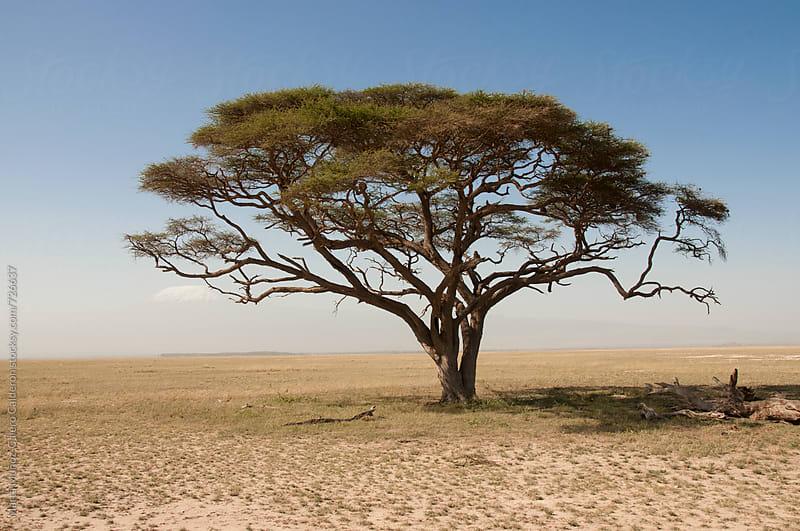 African Acacia from Kenya by Marta Muñoz-Calero Calderon for Stocksy United