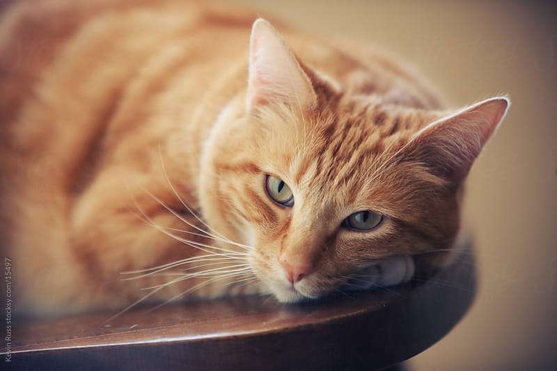 Resting Cat by Kevin Russ for Stocksy United