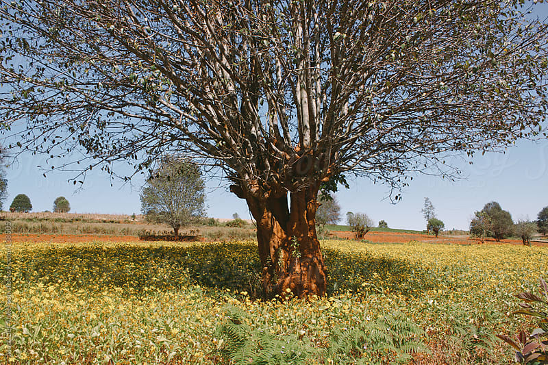Tree in Burma by Matt Lief Anderson for Stocksy United