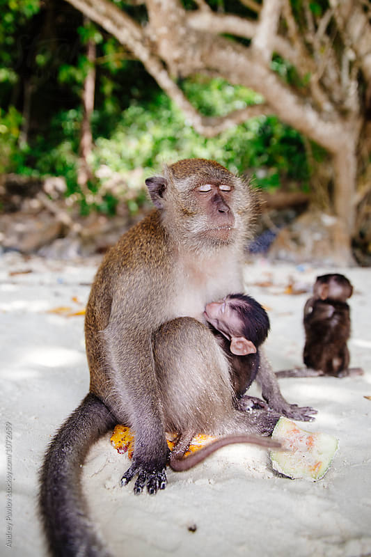Monkey mother feeding her baby on beach by Andrey Pavlov for Stocksy United
