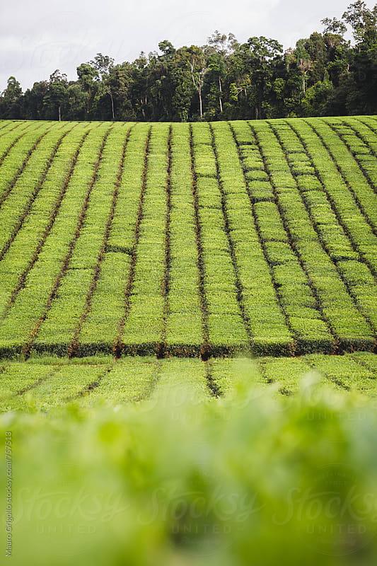 tea plantation by Mauro Grigollo for Stocksy United
