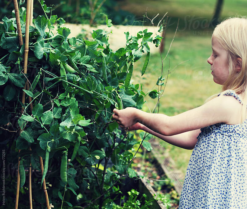 Picking Peas by Helen Rushbrook for Stocksy United