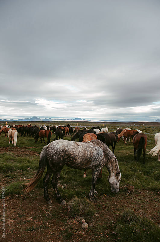 Icelandic horses by Chris Zielecki for Stocksy United