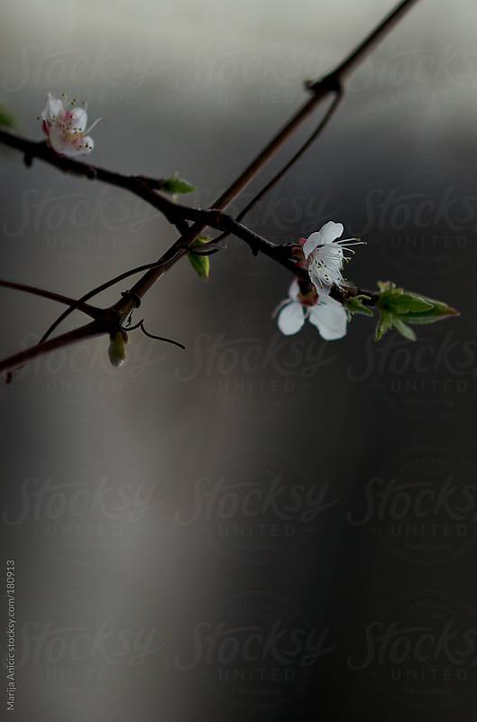 Spring flowers by Marija Anicic for Stocksy United