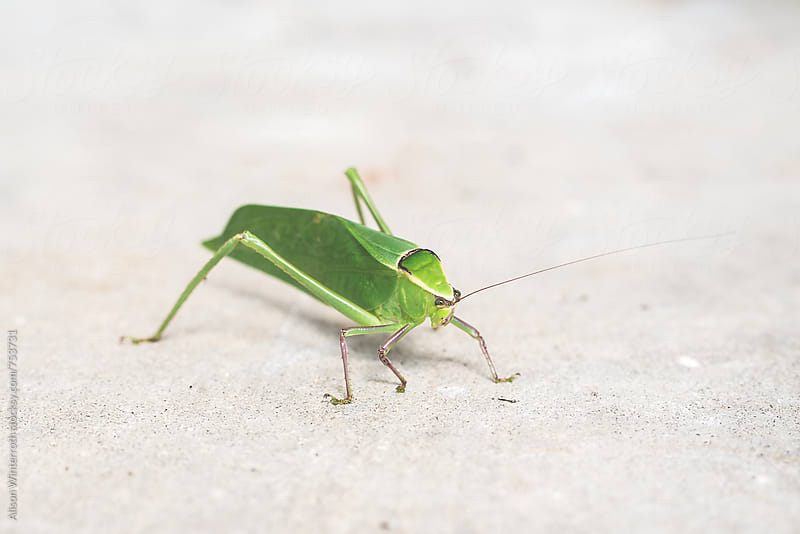 The Face Of A Katydid by Alison Winterroth for Stocksy United