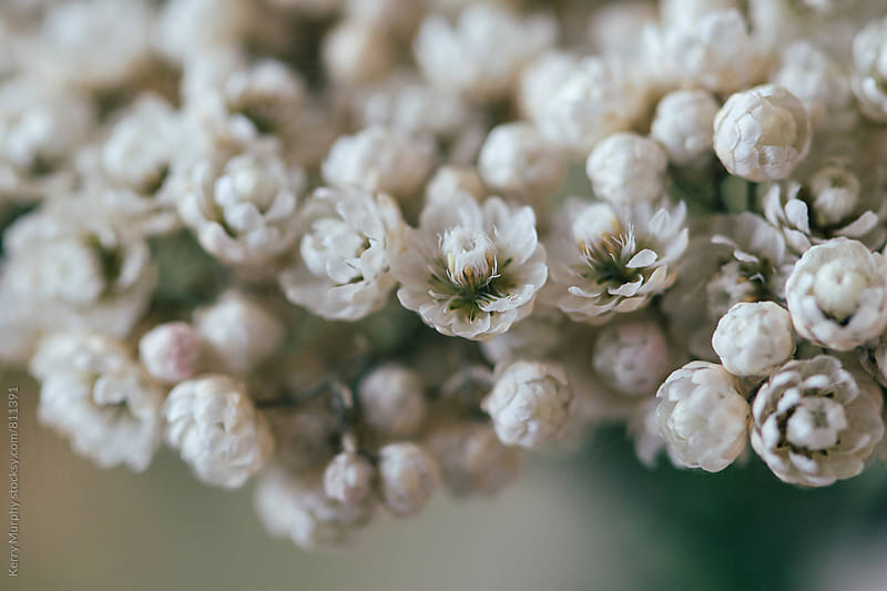Macro of petite white flower blooms by Kerry Murphy for Stocksy United