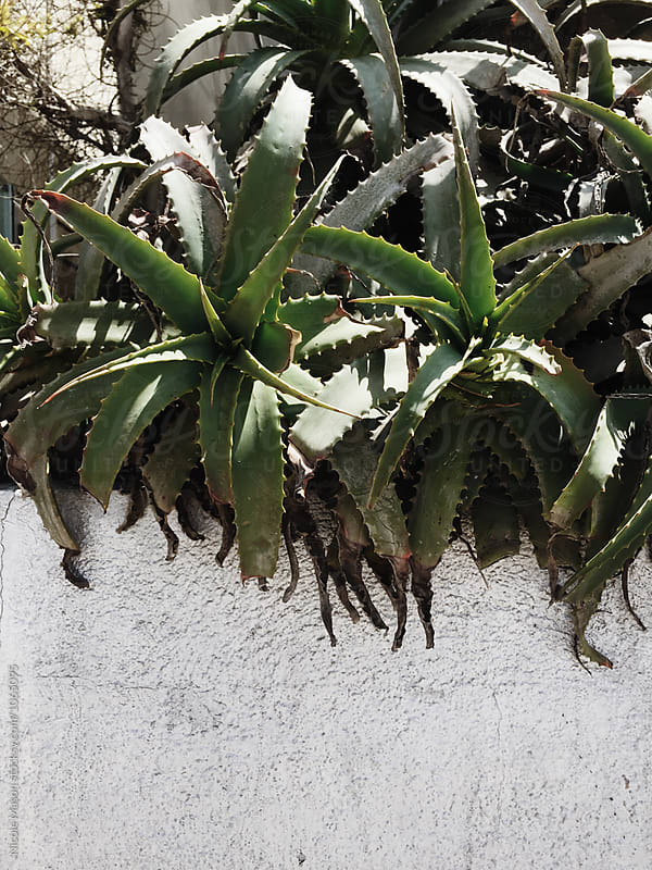 green succulent plant outside along concrete wall by Nicole Mason for Stocksy United