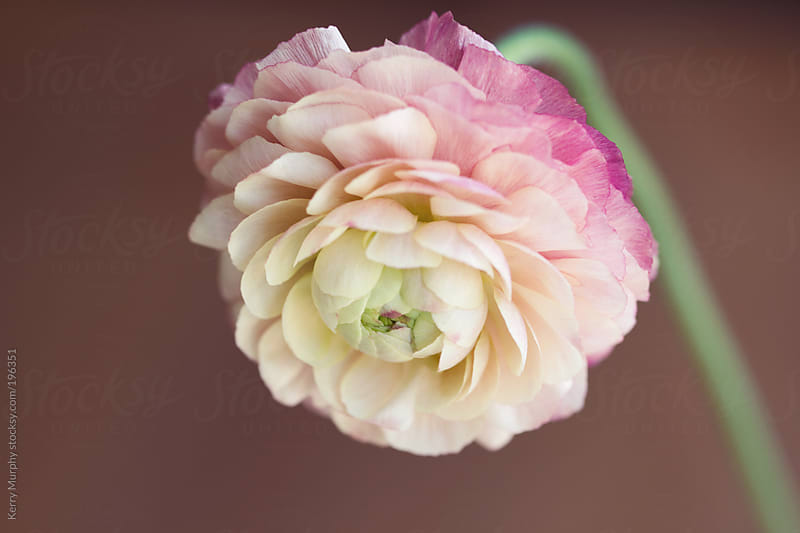Macro of pastel pink single ranunculus flower by Kerry Murphy for Stocksy United