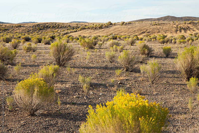 Field of sagebrush and expansive rangeland, near Jackpot, Nevada by Paul Edmondson for Stocksy United