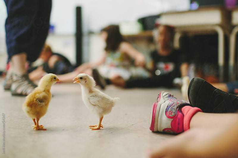 Two Chicks Chirp On Floor Of Classroom by kelli kim for Stocksy United