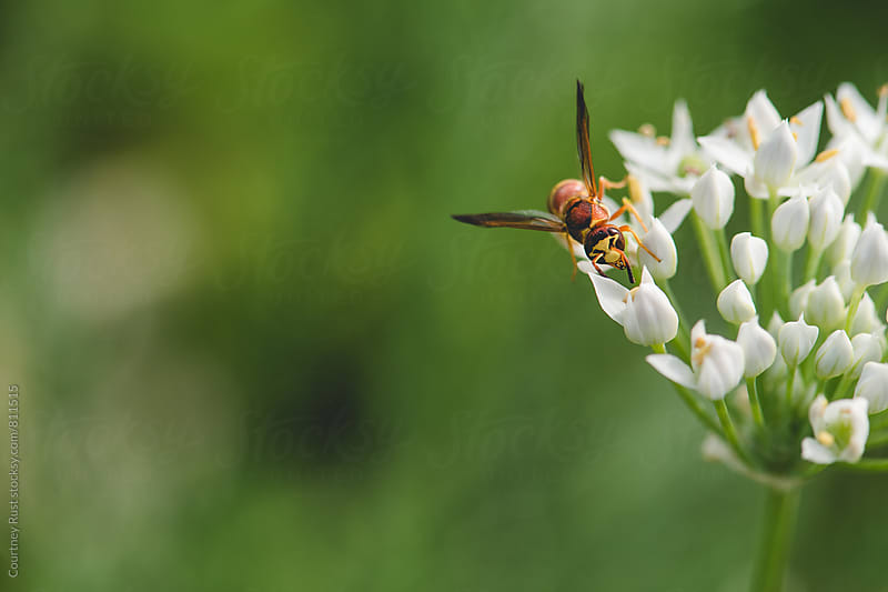 Paper Wasp on a chive flower by Courtney Rust for Stocksy United