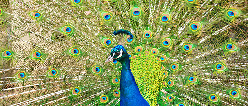 peacock by Gillian Vann for Stocksy United