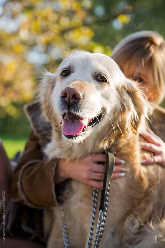 Portrait of a happy golden retriever with his owner behind him  by Jovo Jovanovic for Stocksy United