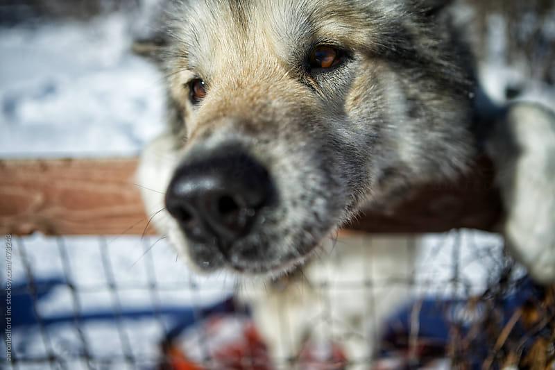 Dog Sledding by aaronbelford inc for Stocksy United