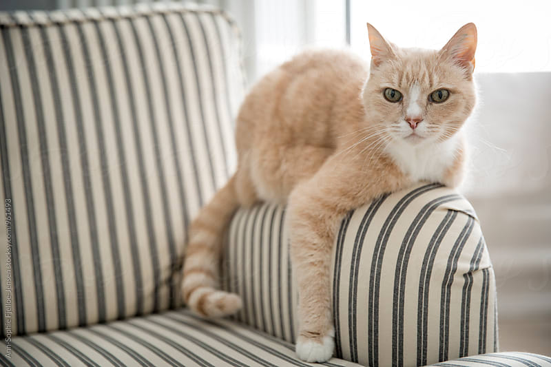 Cat lying on an armrest by Ann-Sophie Fjelloe-Jensen for Stocksy United