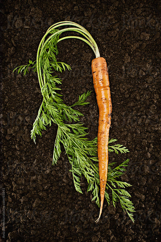 Organic Carrot :Fresh picked natural vegetable in soil by Ania Boniecka for Stocksy United